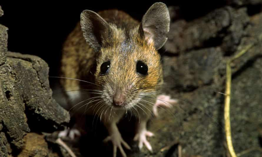 Farmers say field mice have been tunnelling under fields and gnawing at the roots of crops.