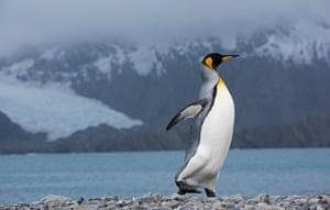 King Penguin Aptenodytes patagonicus Holmestrand South Georgia