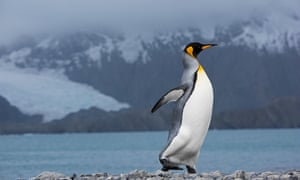 A king penguin, which Franzen comes face to face with in the wild. Photograph: Alamy
