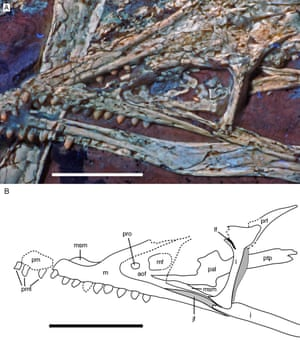 View of the new specimen's upper jaw under UV light (A) and interpretative drawing (B). The maxilla (m in drawing) bears 9 teeth, considered a defining character for Archaeopteryx by the authors. Scale bar 1 cm.