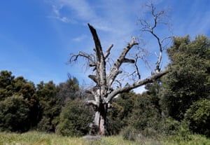 A coastal live oak tree killed by the goldspotted oak borer beetle in Descanso, California. The beetle is an invasive pest contributing to the on-going oak tree mortality occurring in the region.