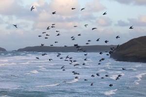 Birds over the sea at Perranporth.