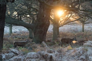Frost covers the ground in Richmond Park, south-west London, as deer graze on bracken at sunrise