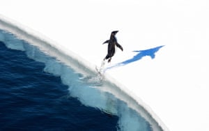 An Adélie penguin jumps on to the ice in the Ross Sea in Antarctica.