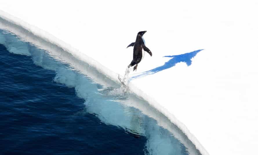Penguin jumping on to the ice in Antarctica. The Ross Sea reserve is the world's biggest protected area.