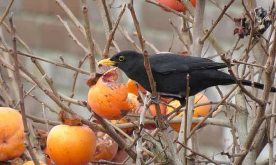 A male blackbird eating a persimmon
