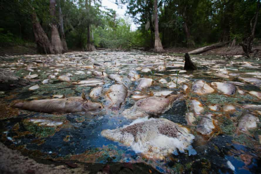 Dead fish in a polluted bayou off the Pearl river in St Tammany parish, Louisiana.