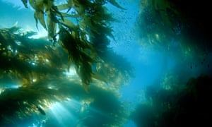 A forest of giant kelp off Catalina Island, California.
