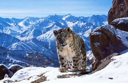 Snow leopard in snowy mountains