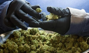 An employee inspects medicinal marijuana buds at Tweed INC., in Smith Falls, Ontario, Canada.