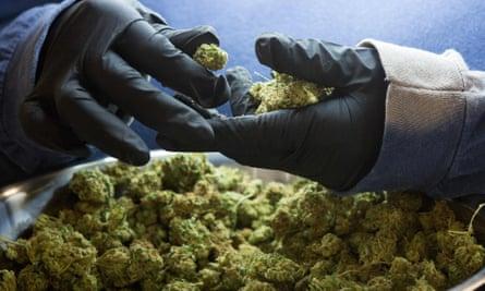 Marijuana buds being inspected