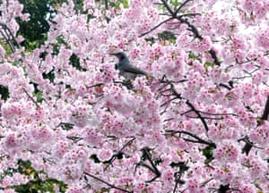 A bird sits in a cherry blossom tree at a park in Tokyo.