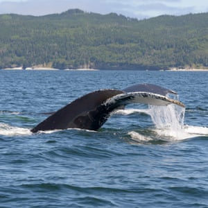 Humpback whale diving to feed.