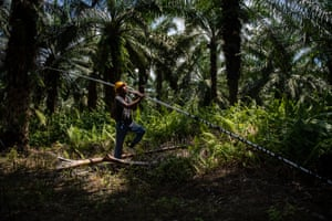 Bacho uses a sickle to cut down oil palm fruit bunches