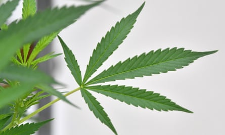 New Zealand will hold a referendum at the same time as the October election on whether to legalise cannabis for recreational use.
