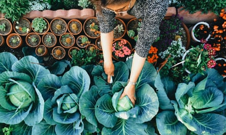 A woman picking cabbages in a vegetable garden