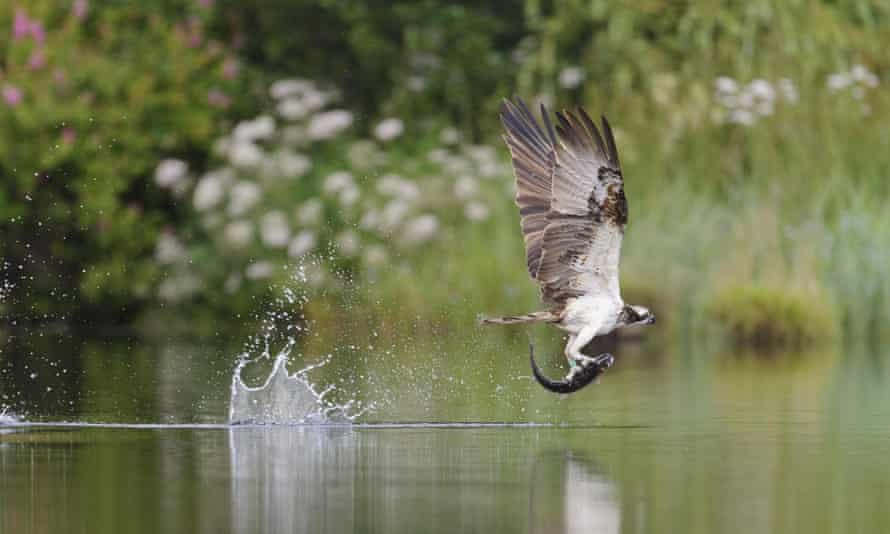 An osprey rises after snagging a fish