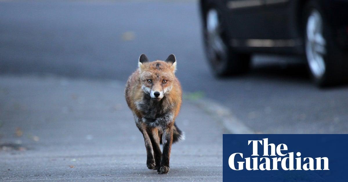 'Unbelievable': campaigners dispute police verdict 'M25 cat killer' is foxes