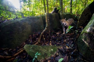 A jaguar photographed with a camera trap in the Nouragues nature reserve in French Guiana