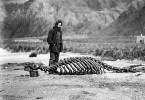 Harold Hamilton was taken on by Mawson to serve as biologist in the Macquarie Island party
