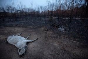 A bovine carcass lies next to an area of burnt vegetation near Porto Velho, Amazon region, Brazil, 24 August 2019.