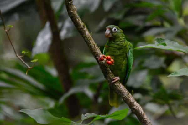 An endangered Puerto Rican amazon parrot near the Rio Abajo Nature Preserve, in Puerto Rico.