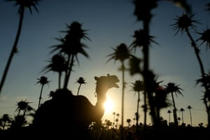 Gaza, Gaza Strip: A silhouette of a camel eating grass near the power plant that generates electricity in the central Gaza Strip