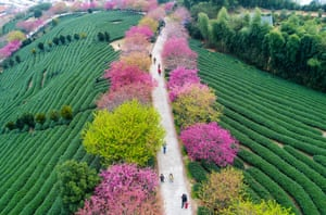 Tourists walk under the blossoming cherry trees at a tea plantation in Yongfu Town in Longyan, Fujian Province of China