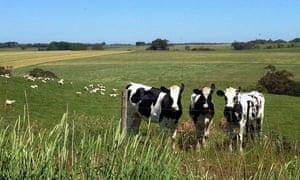 A Victorian dairy herd