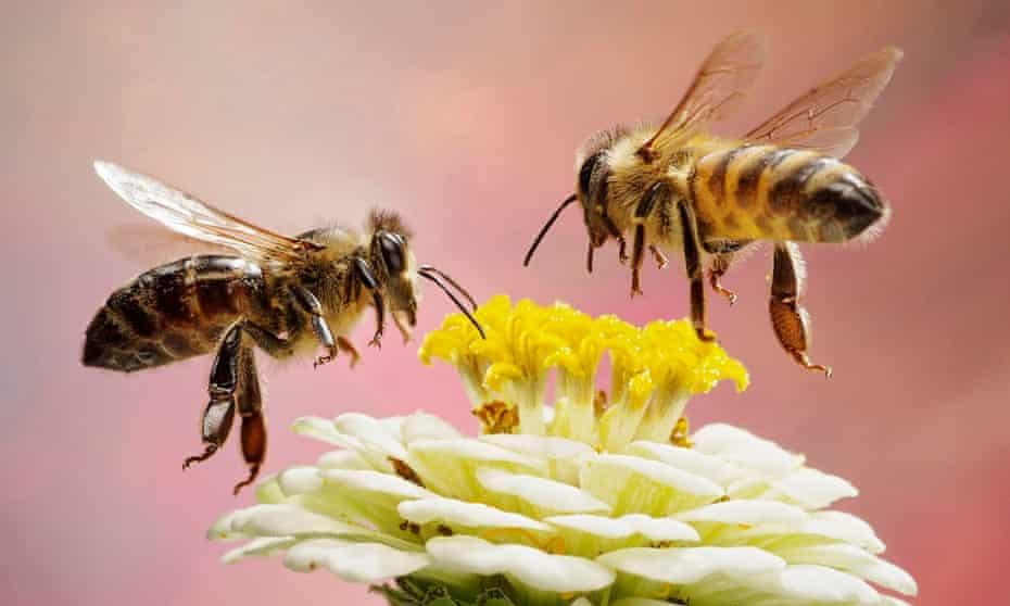 Honey bees in flight, Germany, Europe