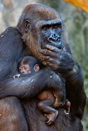 f1eda391719 Rare baby gorilla born at Taronga zoo | Environment | The Guardian