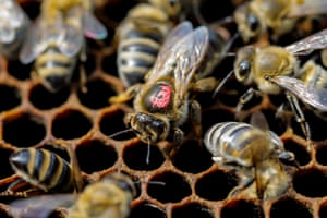 The queen bee is surrounded by other bees on the frame of a hive in a village of Ripanj near Belgrade, Serbia.