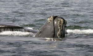 Endangered right whales return to Cape Cod in 'mindblowing' numbers