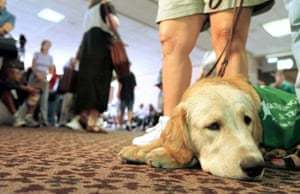 "Seven-month-old golden retriever ""Tim"" waits patiently for his flight to Las Vegas"