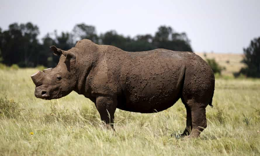 A dehorned rhino at a farm outside Klerksdorp, South Africa.