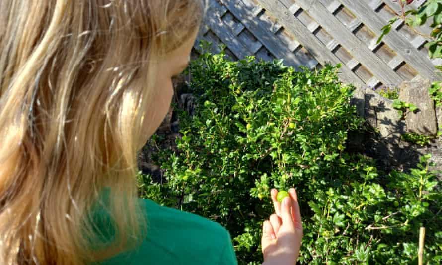Anwen picking a gooseberry in her garden.