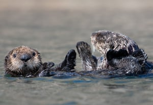 A sea otter mother and pup