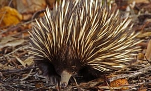 Echidnas move more mud than you know