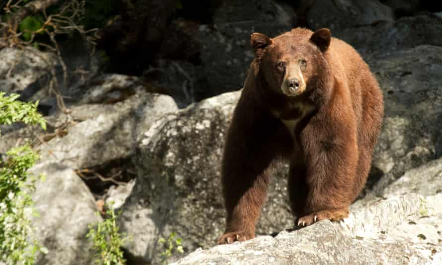 'The bear population has quadrupled,' said one worker at a Yosemite hotel.