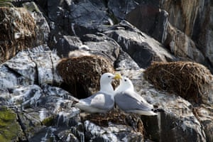 Black-legged kittiwake (Rissa tridactyla) is a dainty gull with black-tipped silver wings, yellow bill and dark eyes. Their shrill call 'kittee wa-aake' gives them their name. Kittiwake numbers in the UK have declined by about 50% (66% in Scotland) since the mid-1980s. This decline appears to have been driven by a slump in the availability of sandeels due to climate change and overfishing. Breeding failure increases with the proportion of sandeels fished.Nominated by: Blue Planet Society