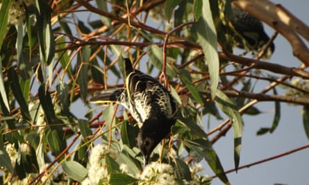 The two regent honeyeaters (the female blurred in the far right) feed on ironbark blossoms in Springfield Lakes, Brisbane.