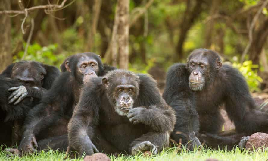Several chimpanzees sitting close together
