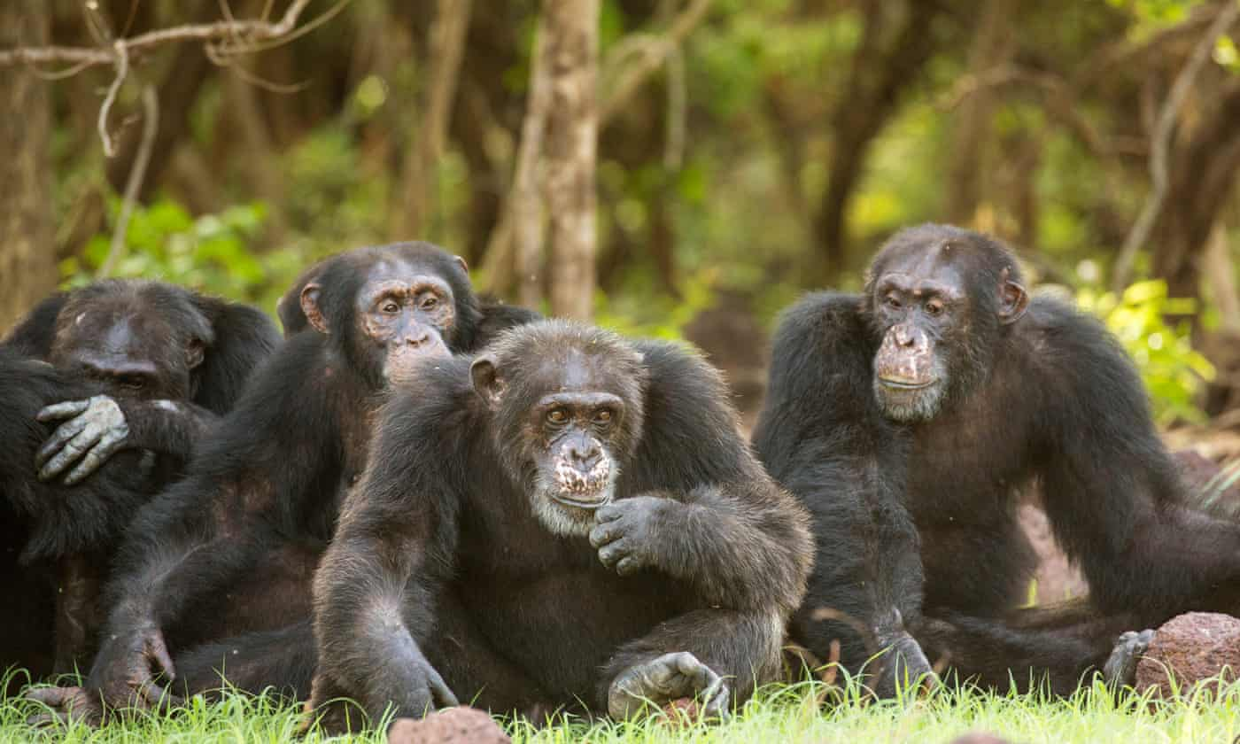 Chimps more sociable after watching movies together – study