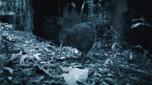 Uniquely in the bird world a kiwi has nostrils at the tip of its bill, enabling it to sniff out invertebrate prey underground. Around the same size and shape as a stout chicken, a kiwi is in fact related to the ostrich.