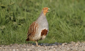An adult male grey partridge perdix perdix. There are now fewer than 50,000 breeding pairs.