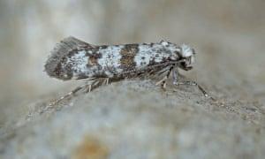 A hawthorn moth