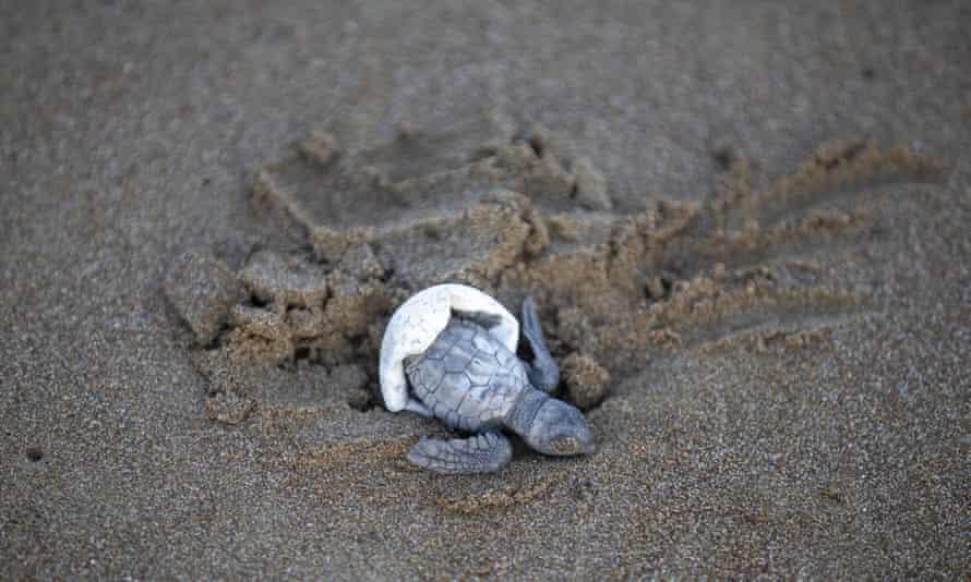 Εκκολάπτει μια χελώνα