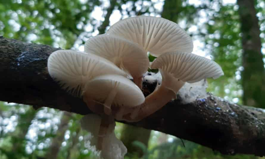 porcelain fungus.