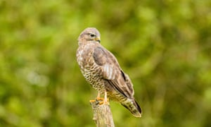 A young buzzard in autumn in mid-Wales
