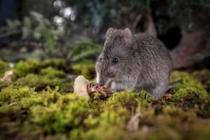 A long-nosed potoroo (Potorous tridactylus) eating fungi
